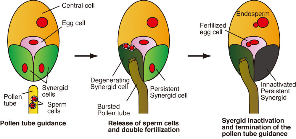 Novel cell fusion terminates female courtship in plant   Features