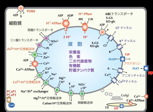図1.植物膜輸送システム