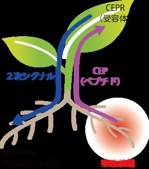 図3.CEPの機能と作用のしくみ