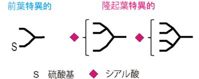 図2.TSHの糖鎖構造