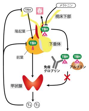 図3.TSHが二役を演じるしくみ